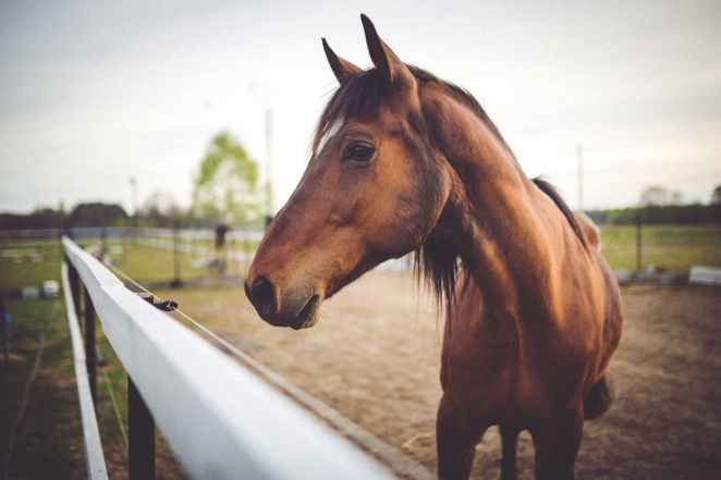 animal-brown-horse.jpg