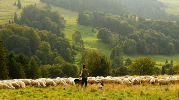 sheep-690198_960_720.jpg